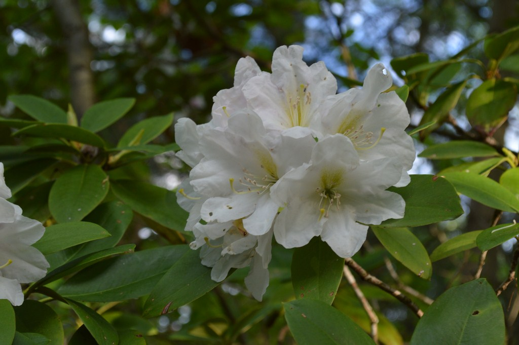 White Rhododendrum